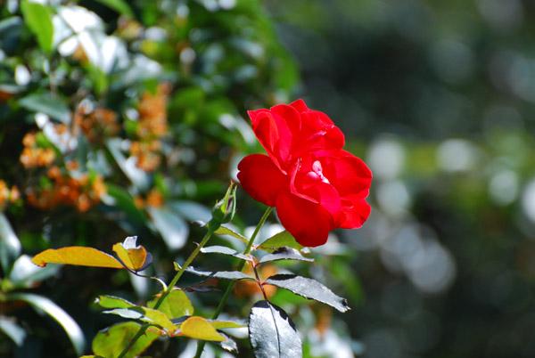 赤いバラです