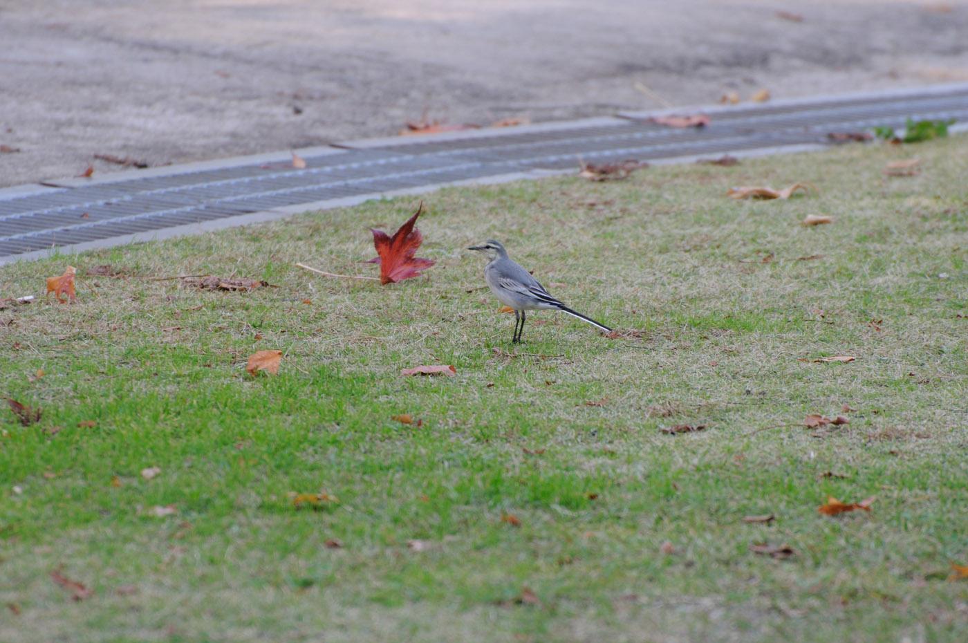 芝の上の鳥さんその1