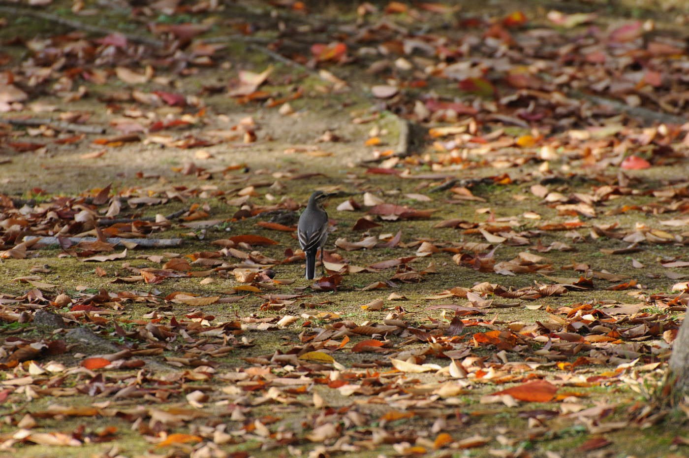 落ち葉の上の鳥さん
