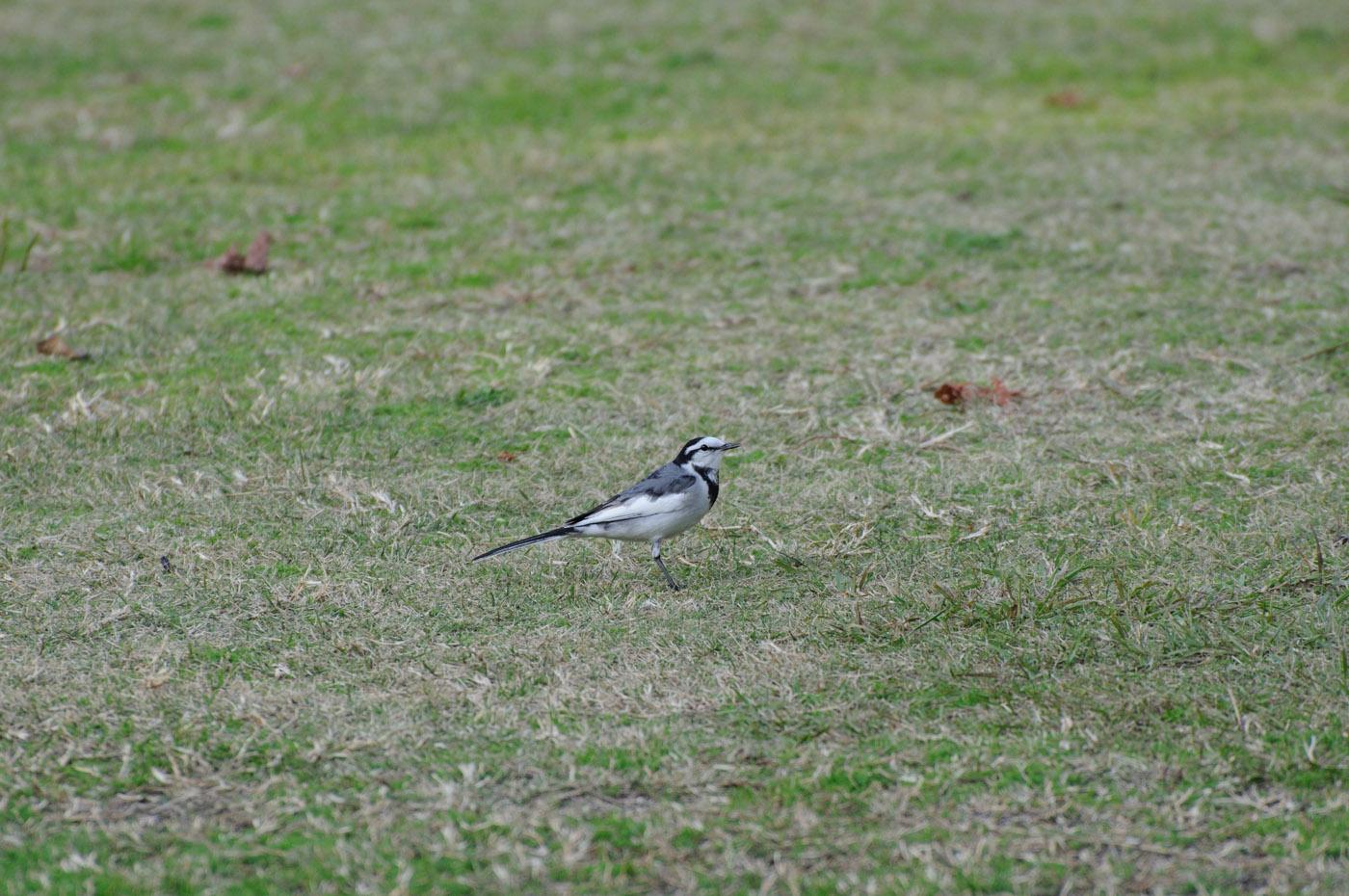 芝の上の鳥さんその2