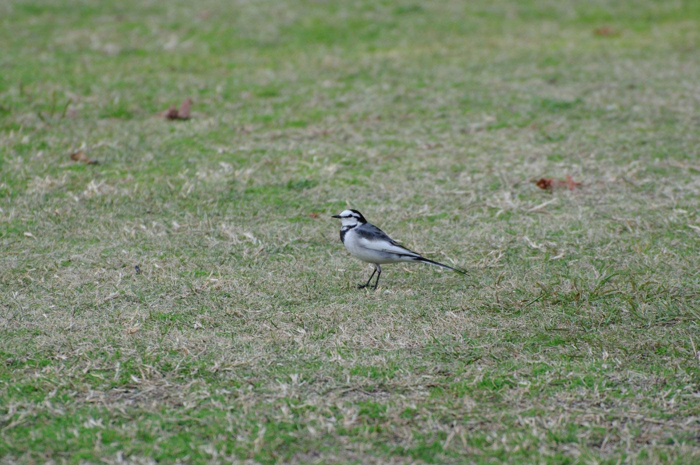 芝の上の鳥さんその3