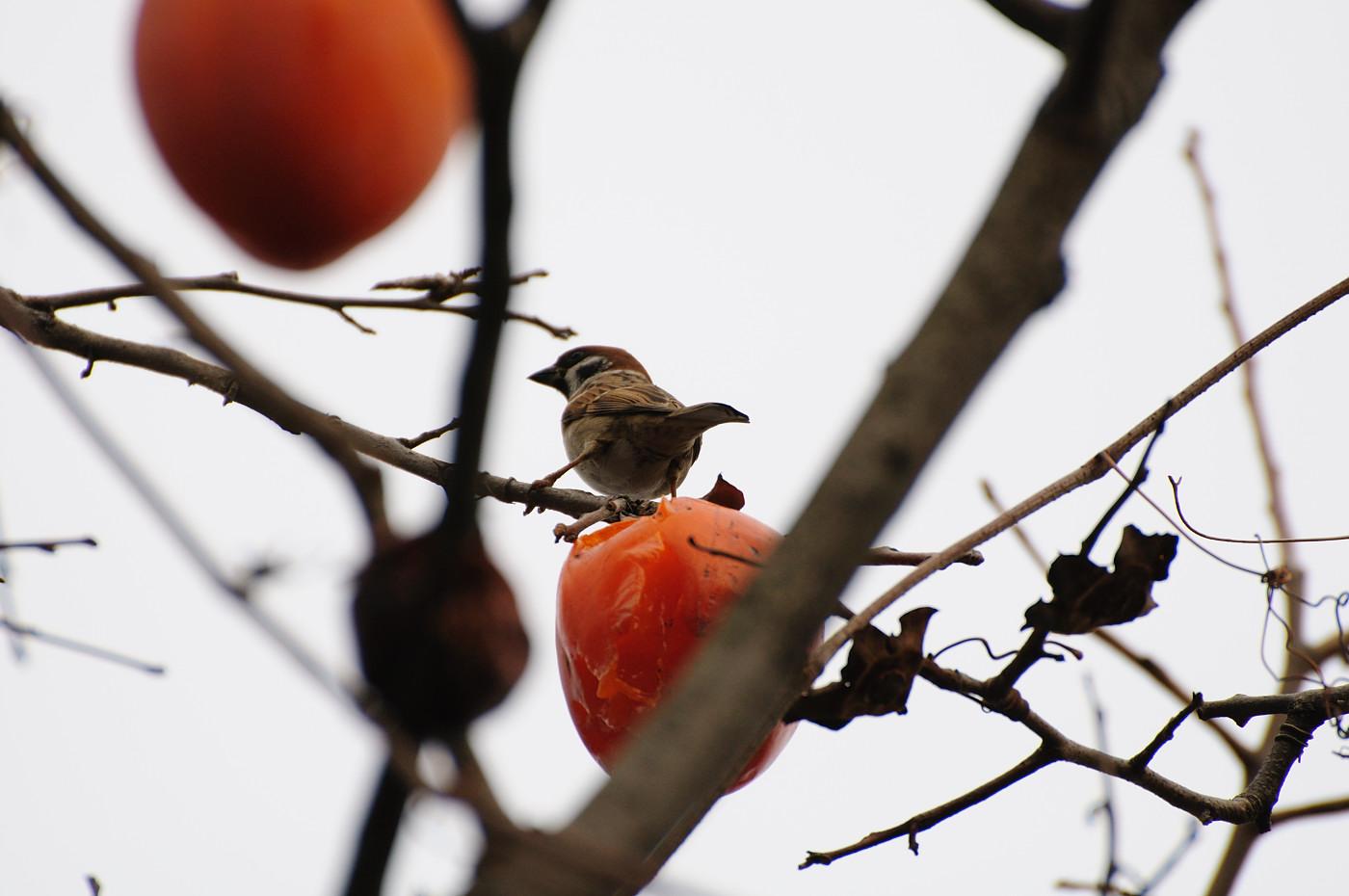 柿を食べまくるすずめちゃん