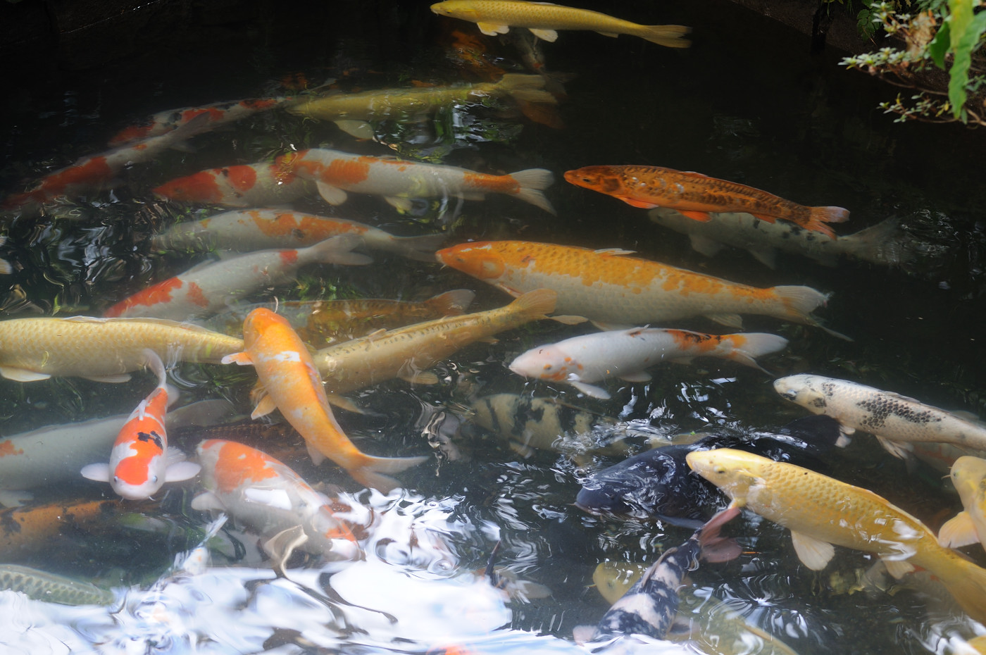 鯉さんがたくさんです