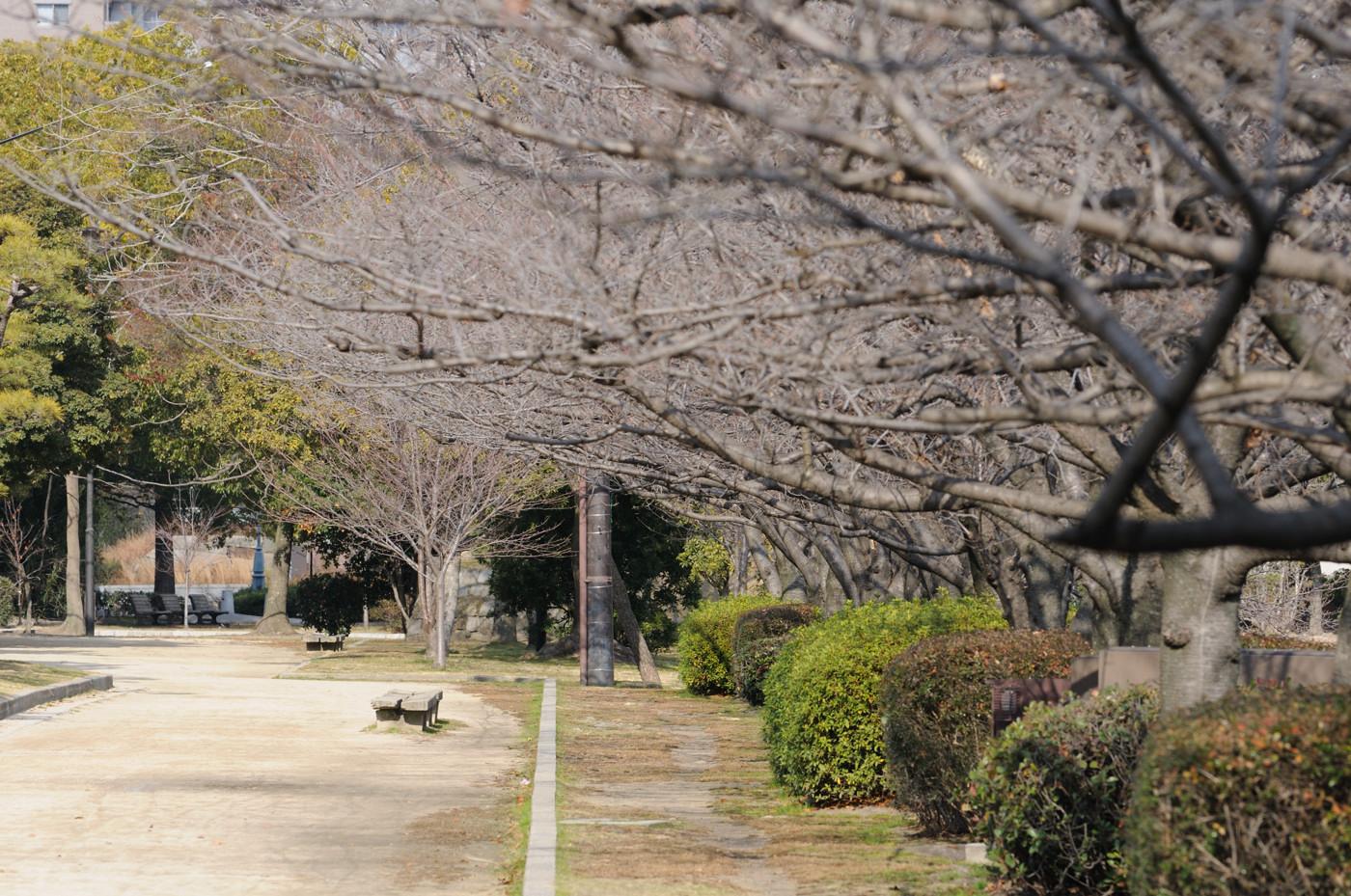 春が楽しみな桜並木