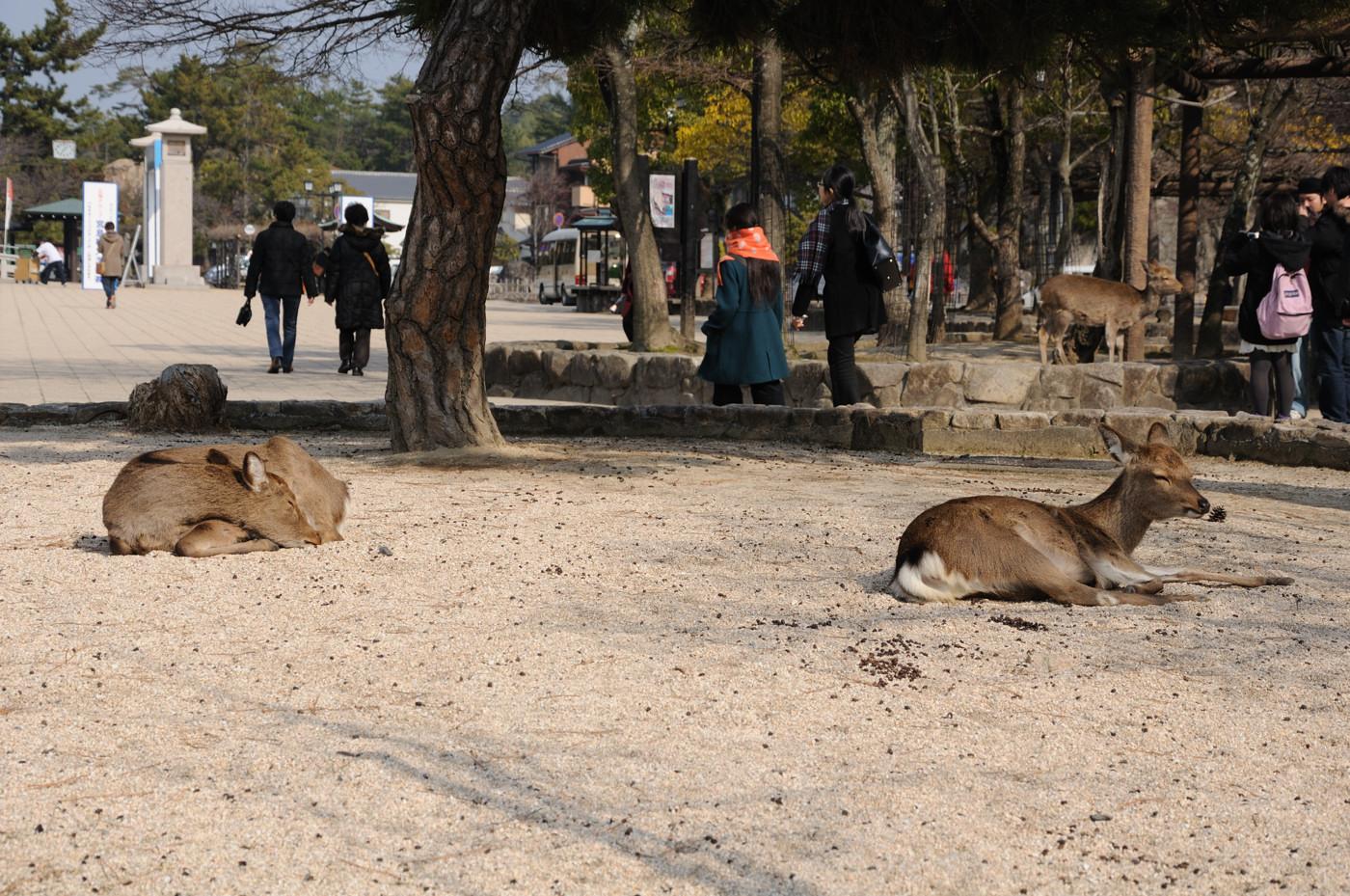 完全に寝ている鹿さんです
