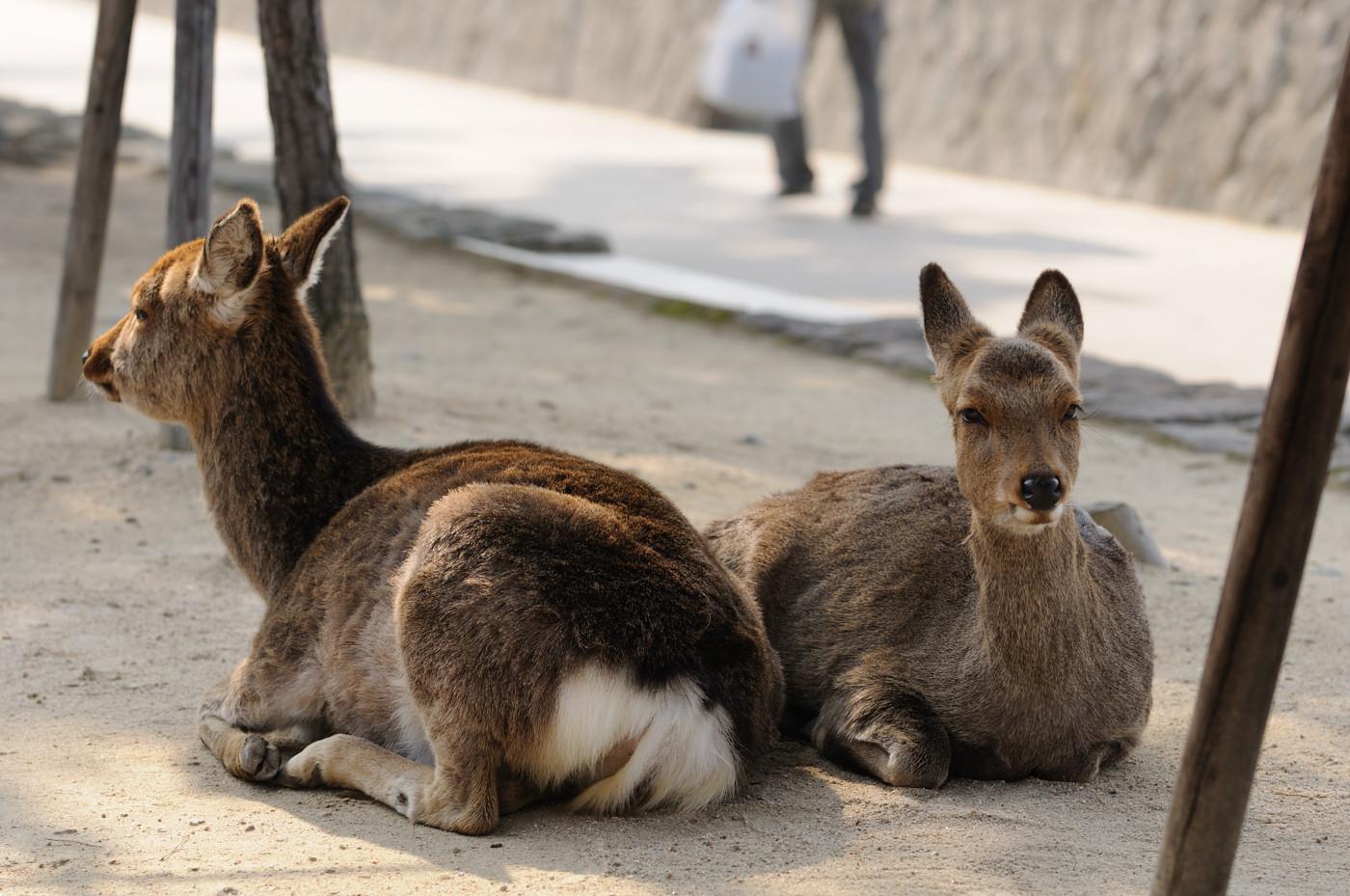 エサを待っている鹿なのかもしれません