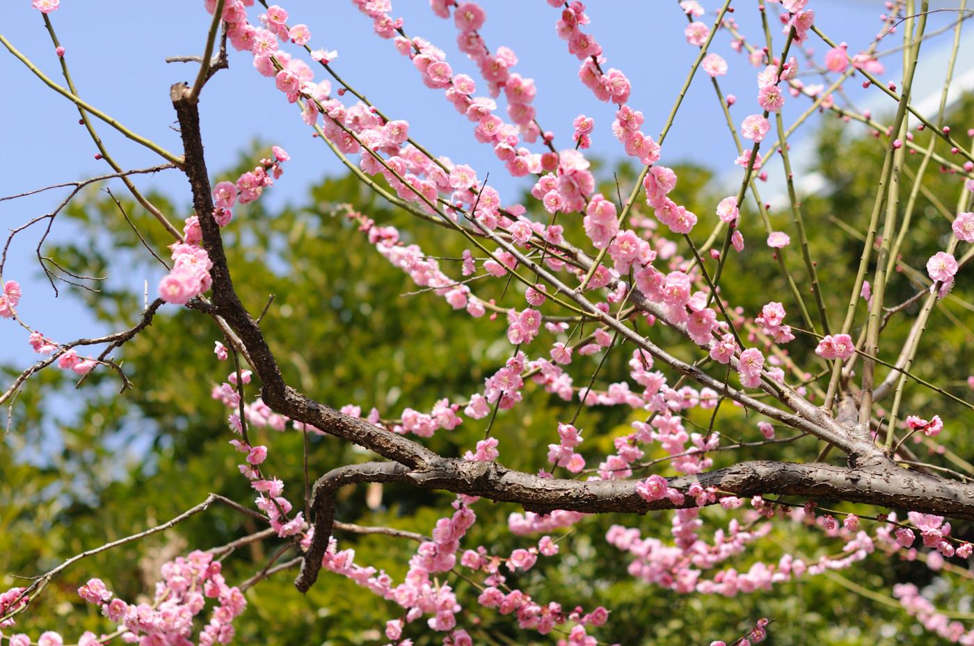 ピンクの梅の花をちょっと広めに