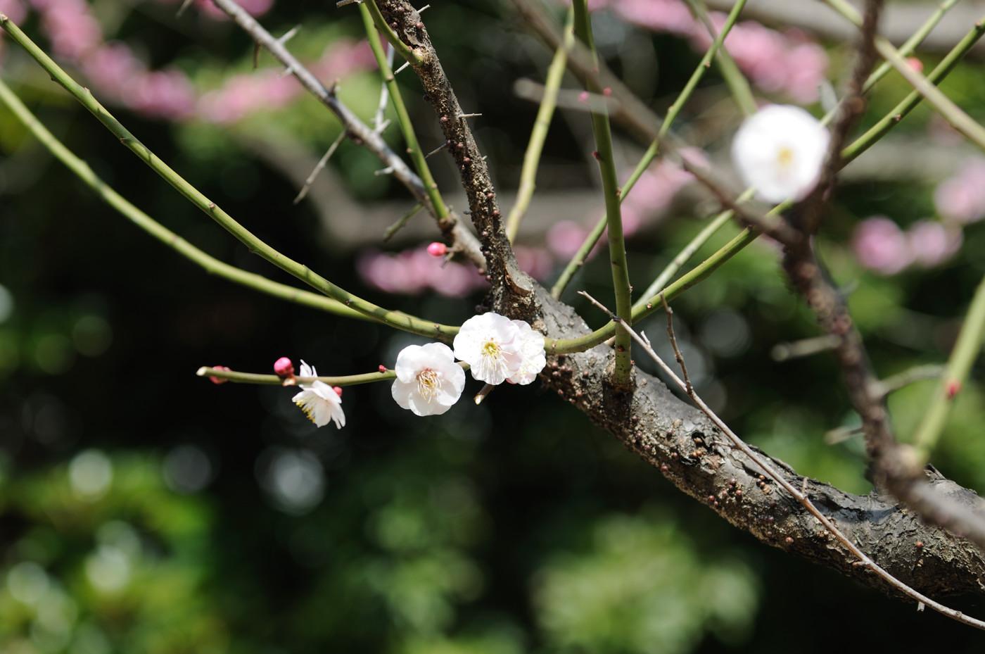 梅の花その1