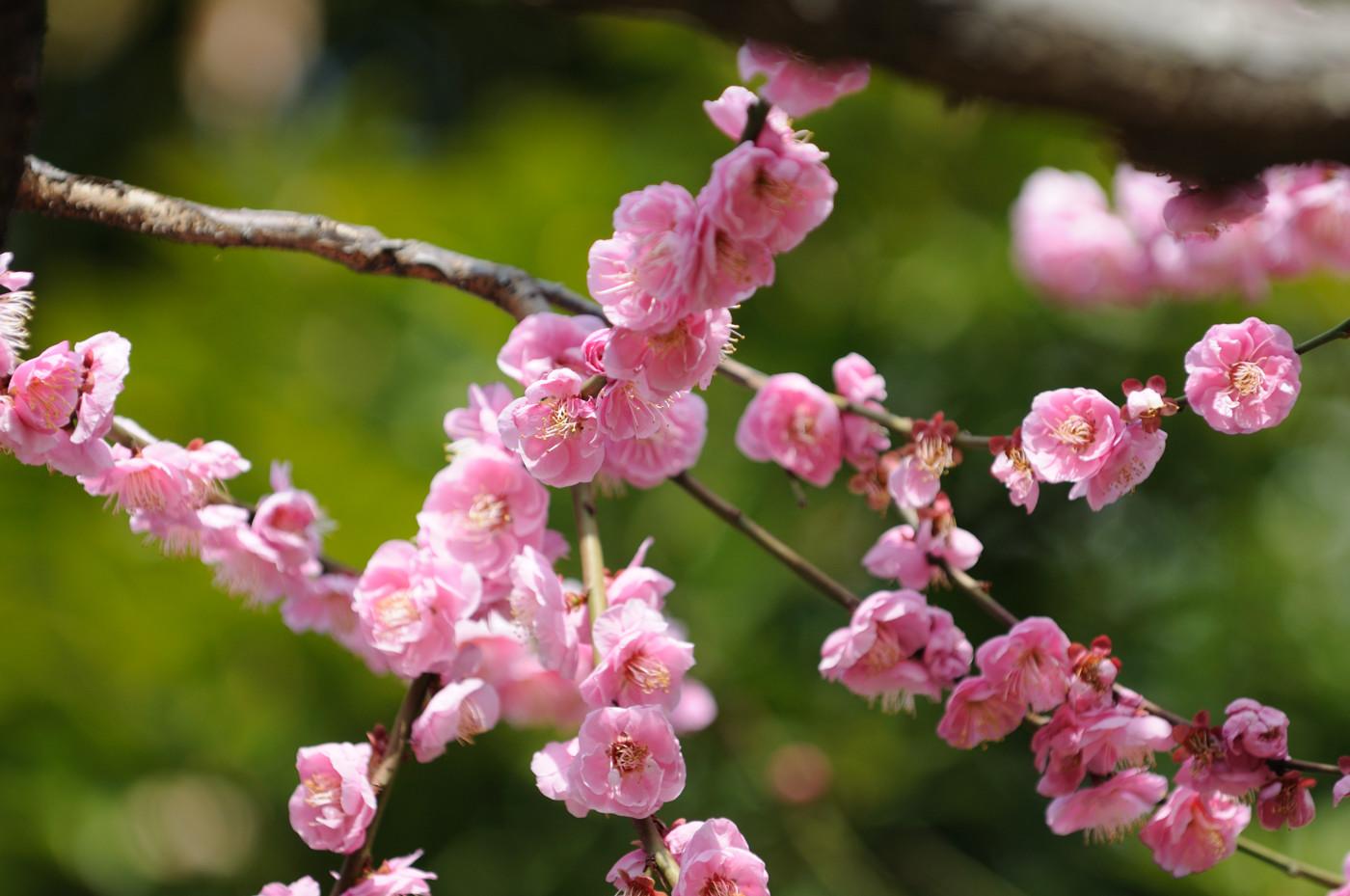 梅の花その2