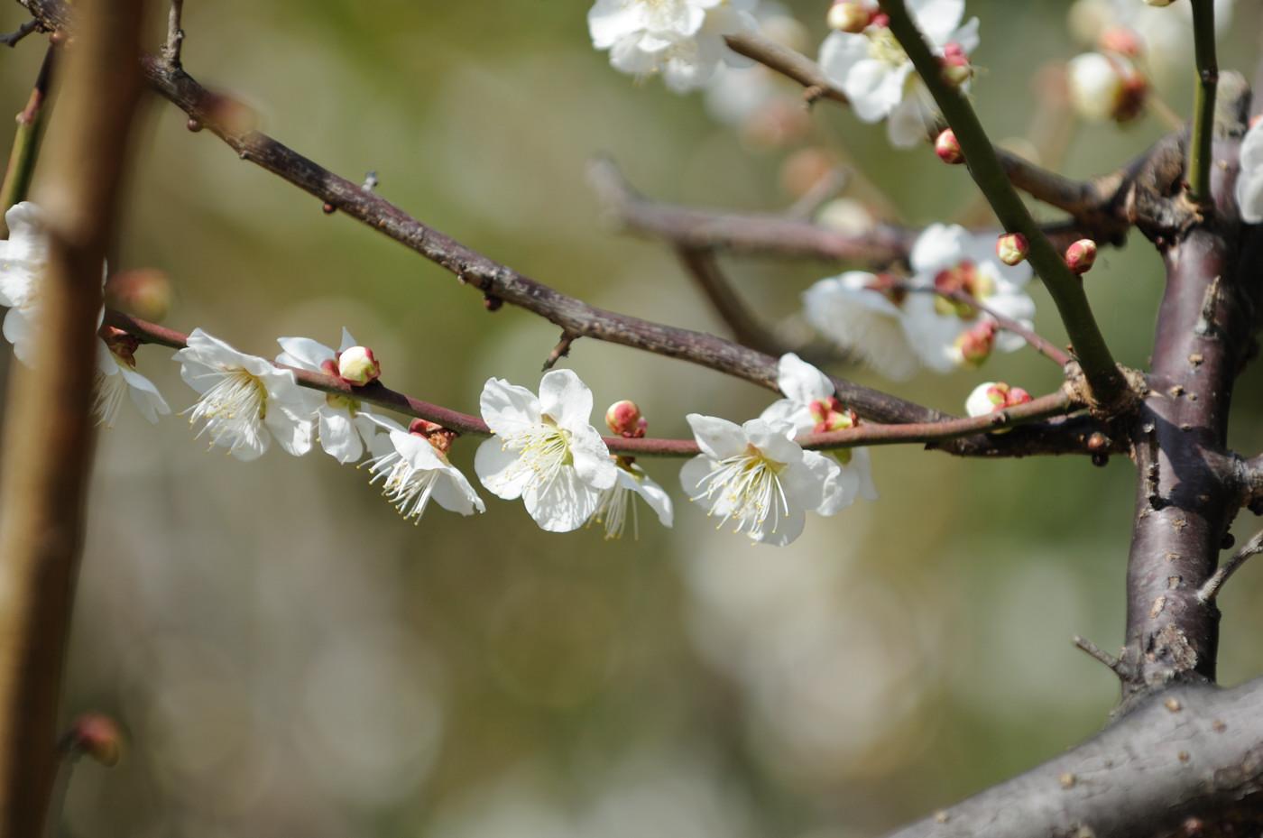 梅の花その3