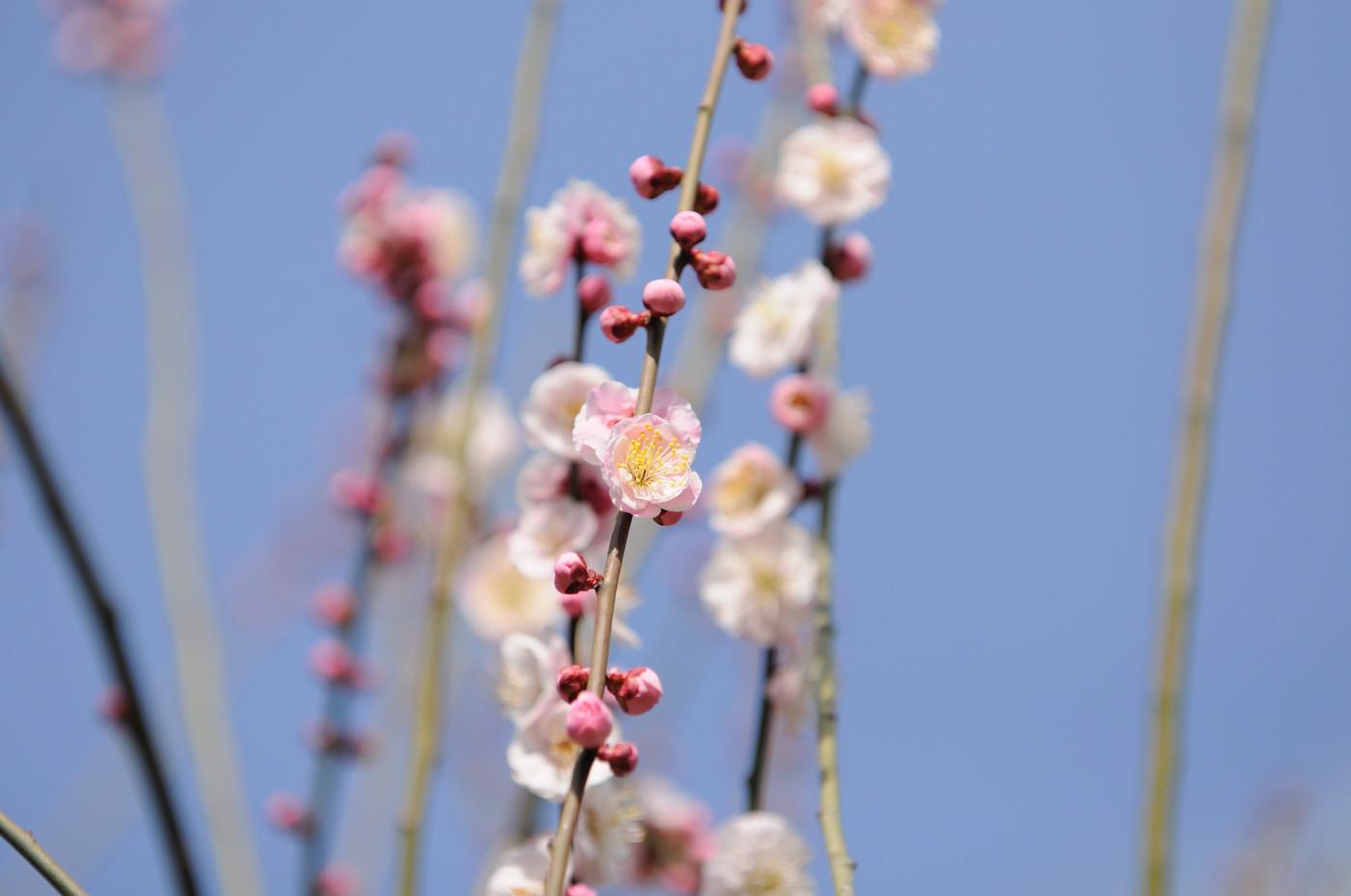 梅の花その4