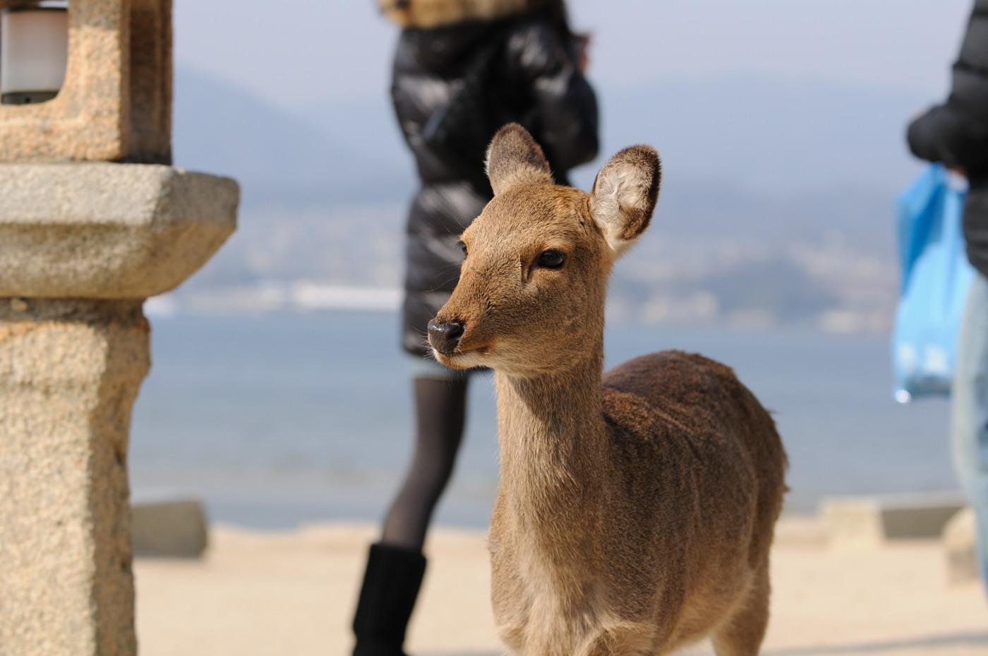 鹿せんべいを食べたい鹿さんその1
