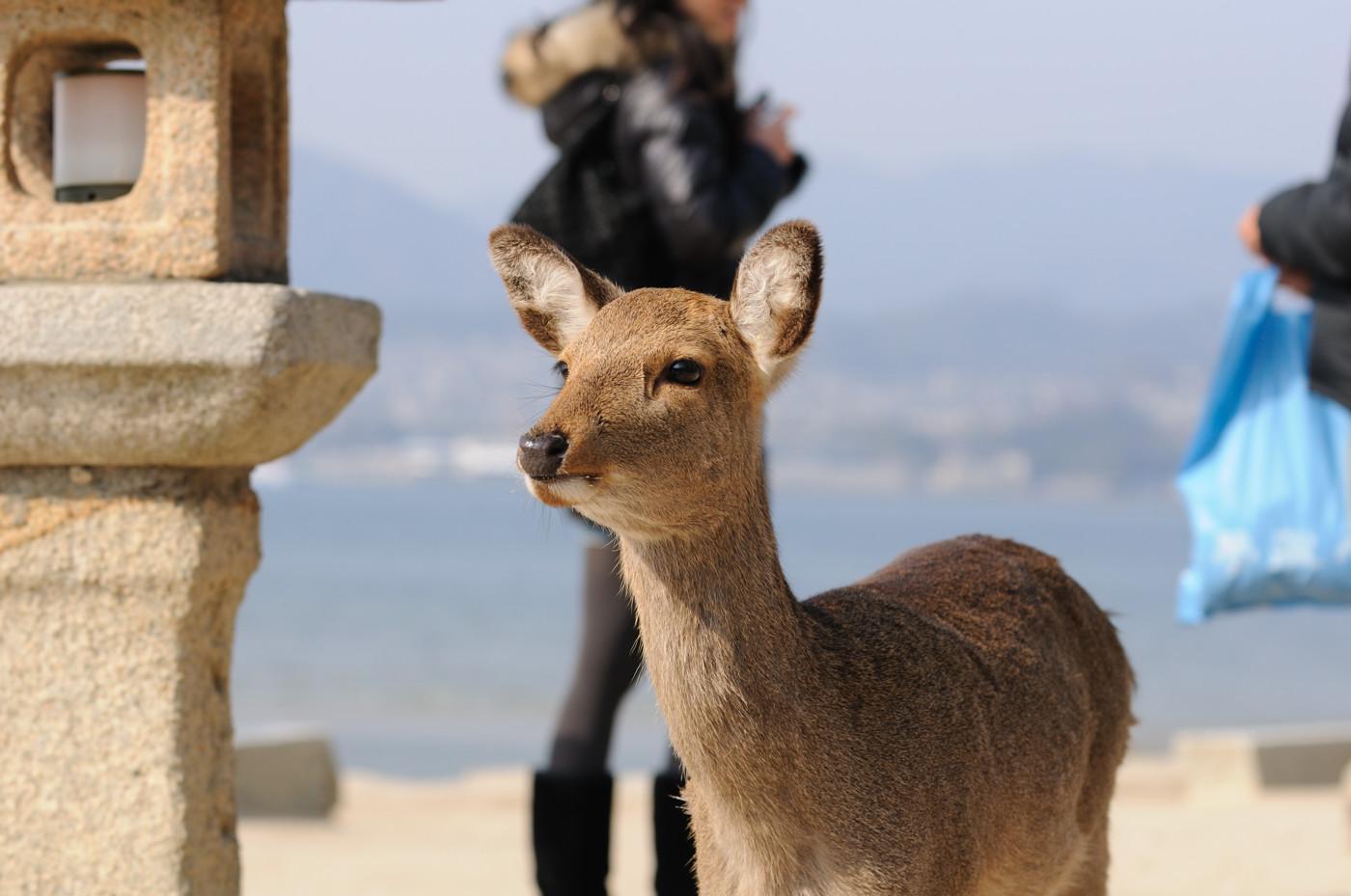 鹿せんべいを食べたい鹿さんその2