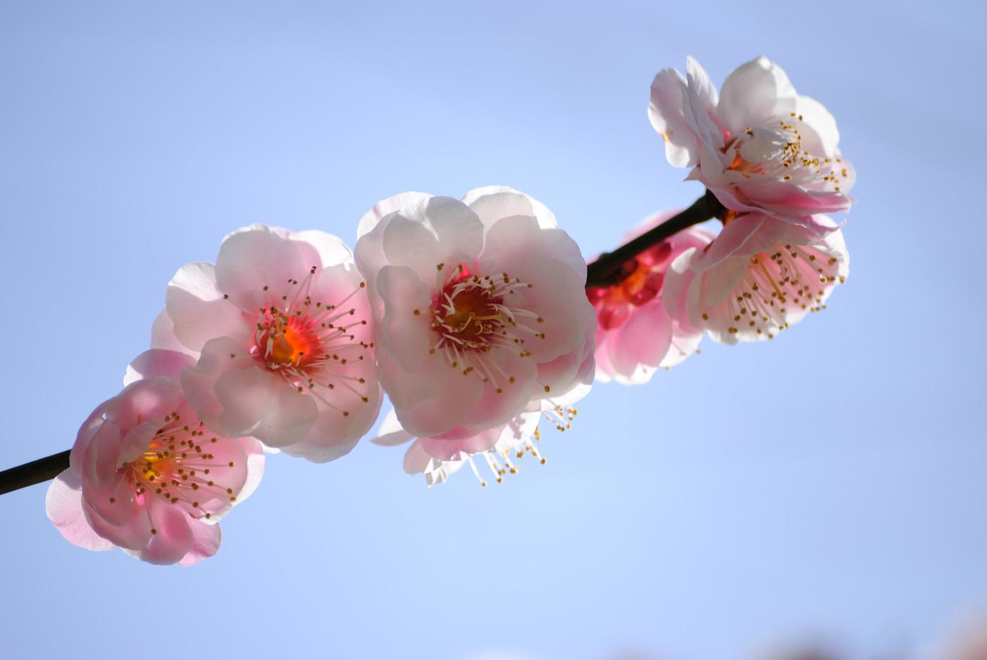 梅の花は逆光が良いと思う