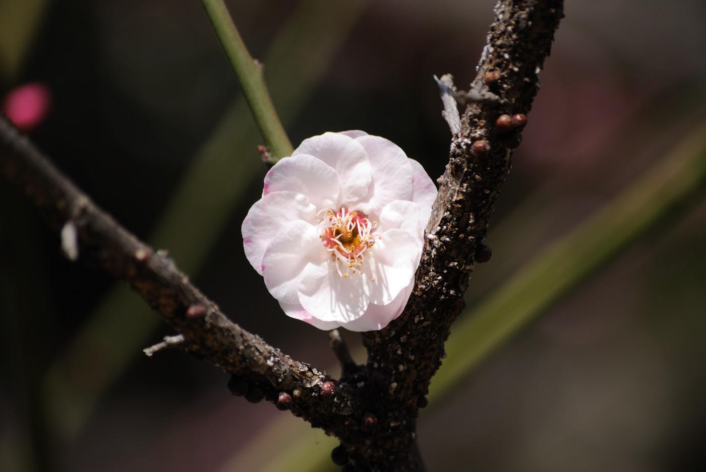 いちりんの梅の花