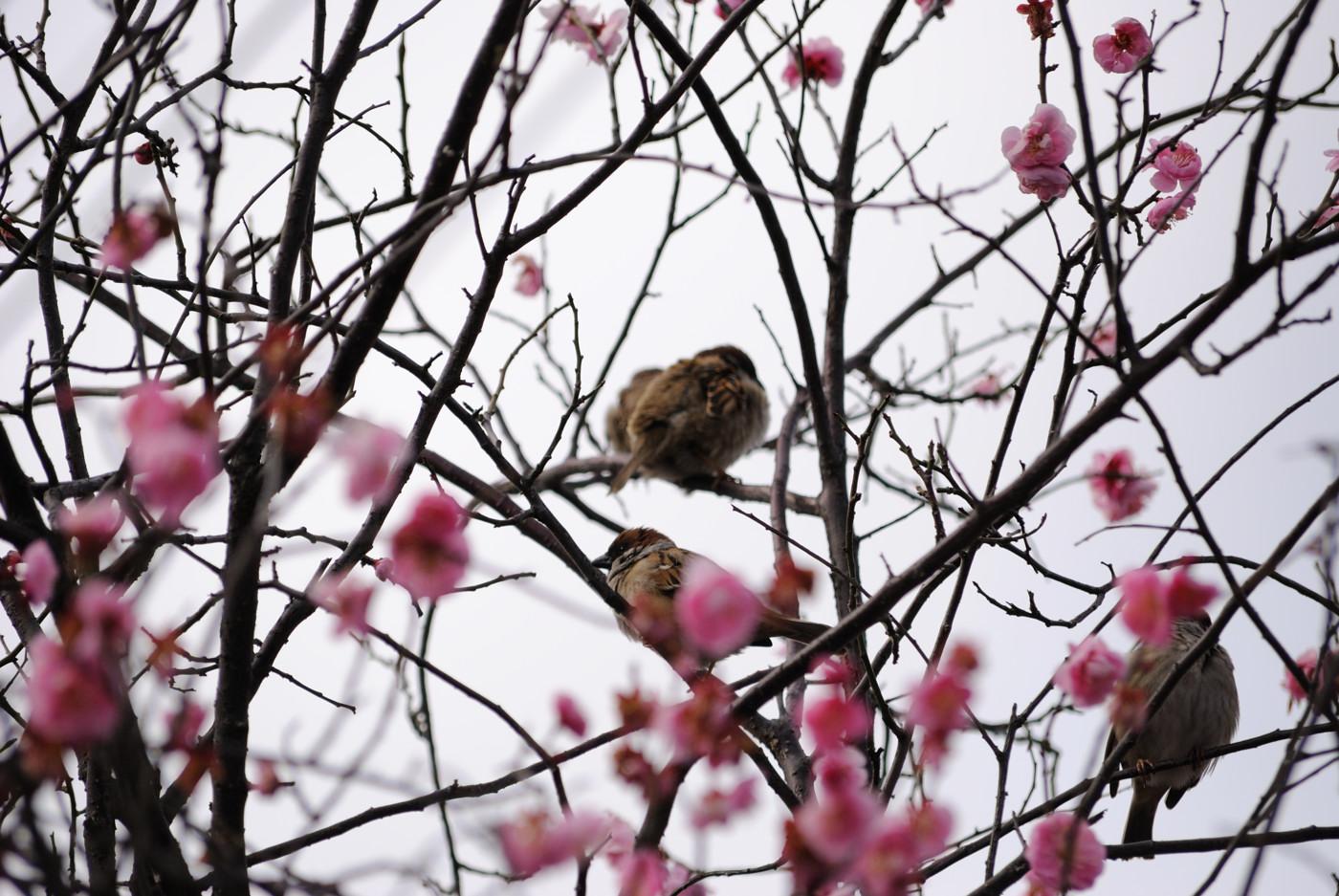 梅の木に群がる雀ちゃん