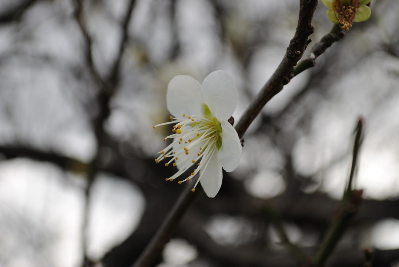 大きく梅の花