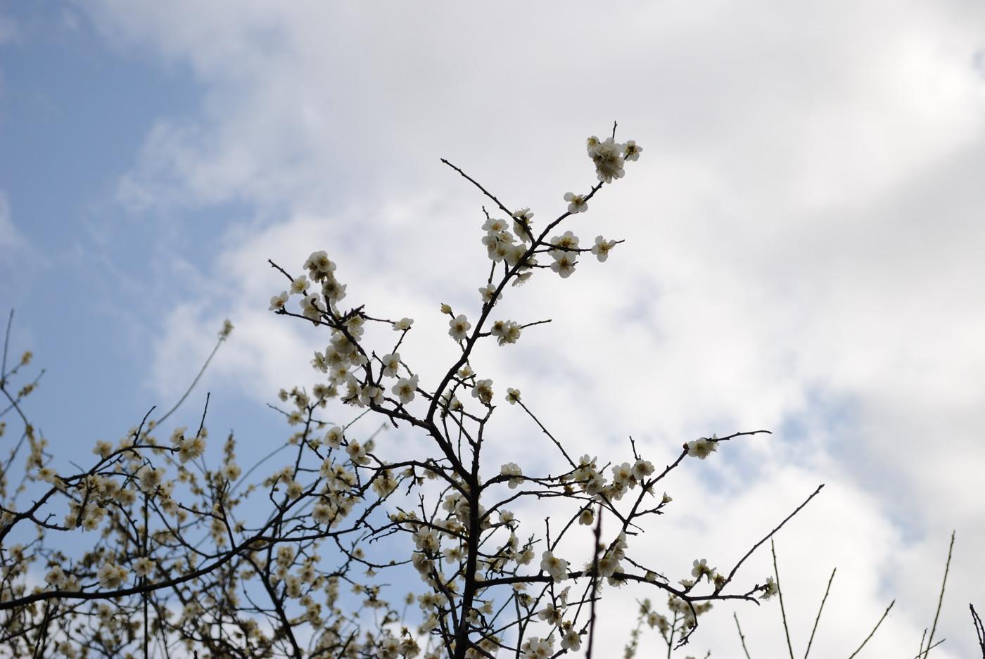 白い雲をバックに梅の花