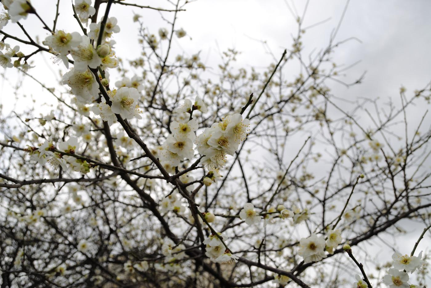 今日も梅の花