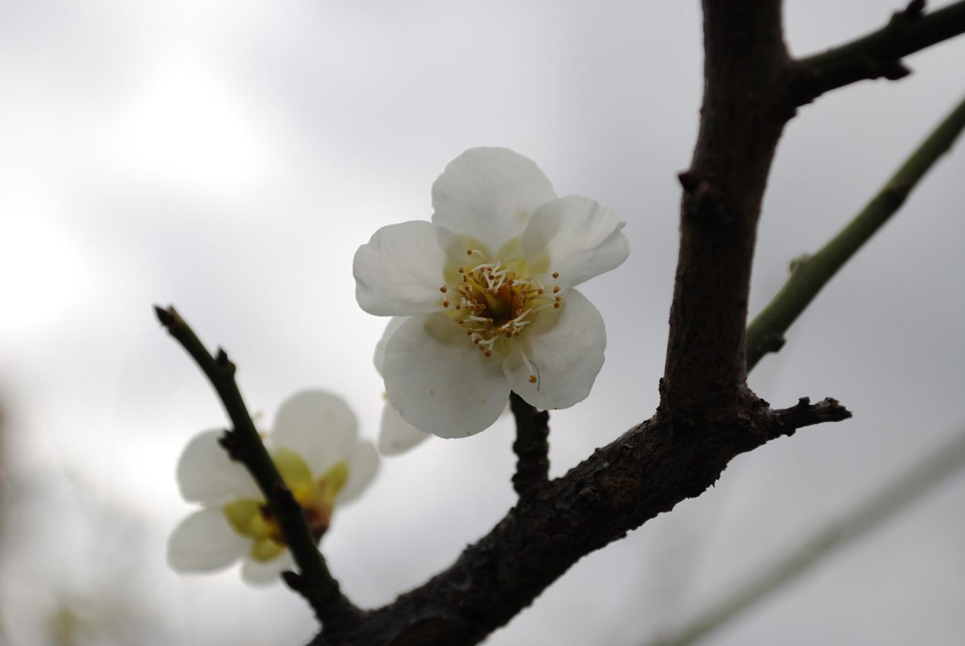 今日も梅の花その3