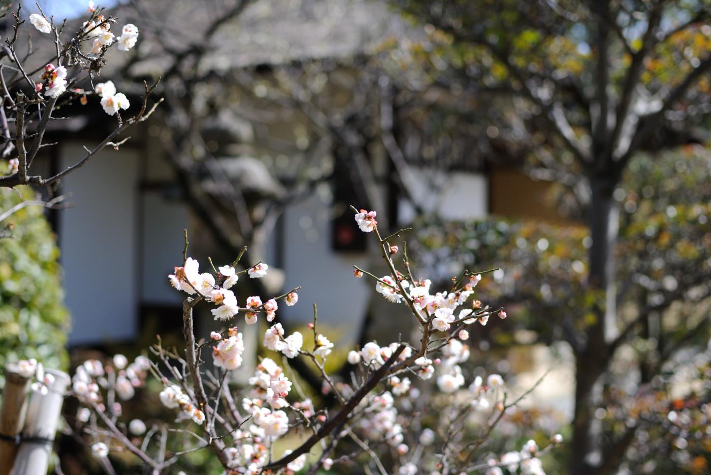 縮景園の梅の花その1