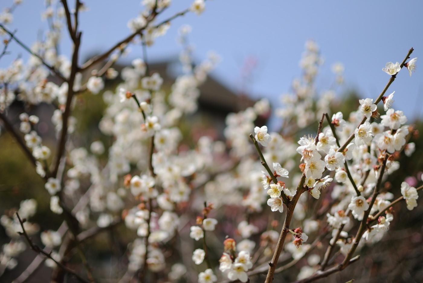 縮景園の梅の花その2