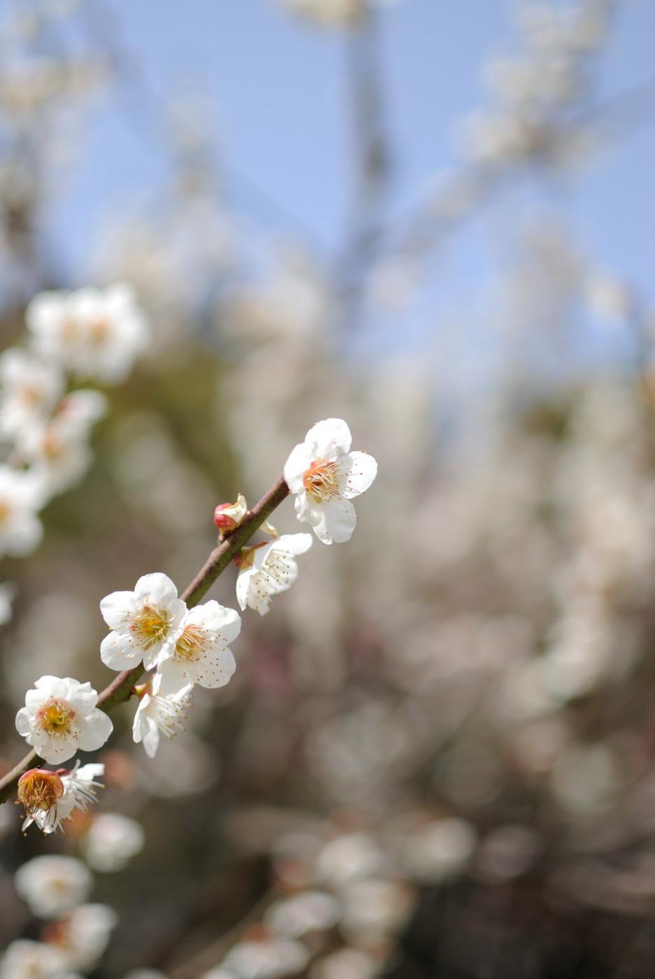 縮景園の梅の花その3