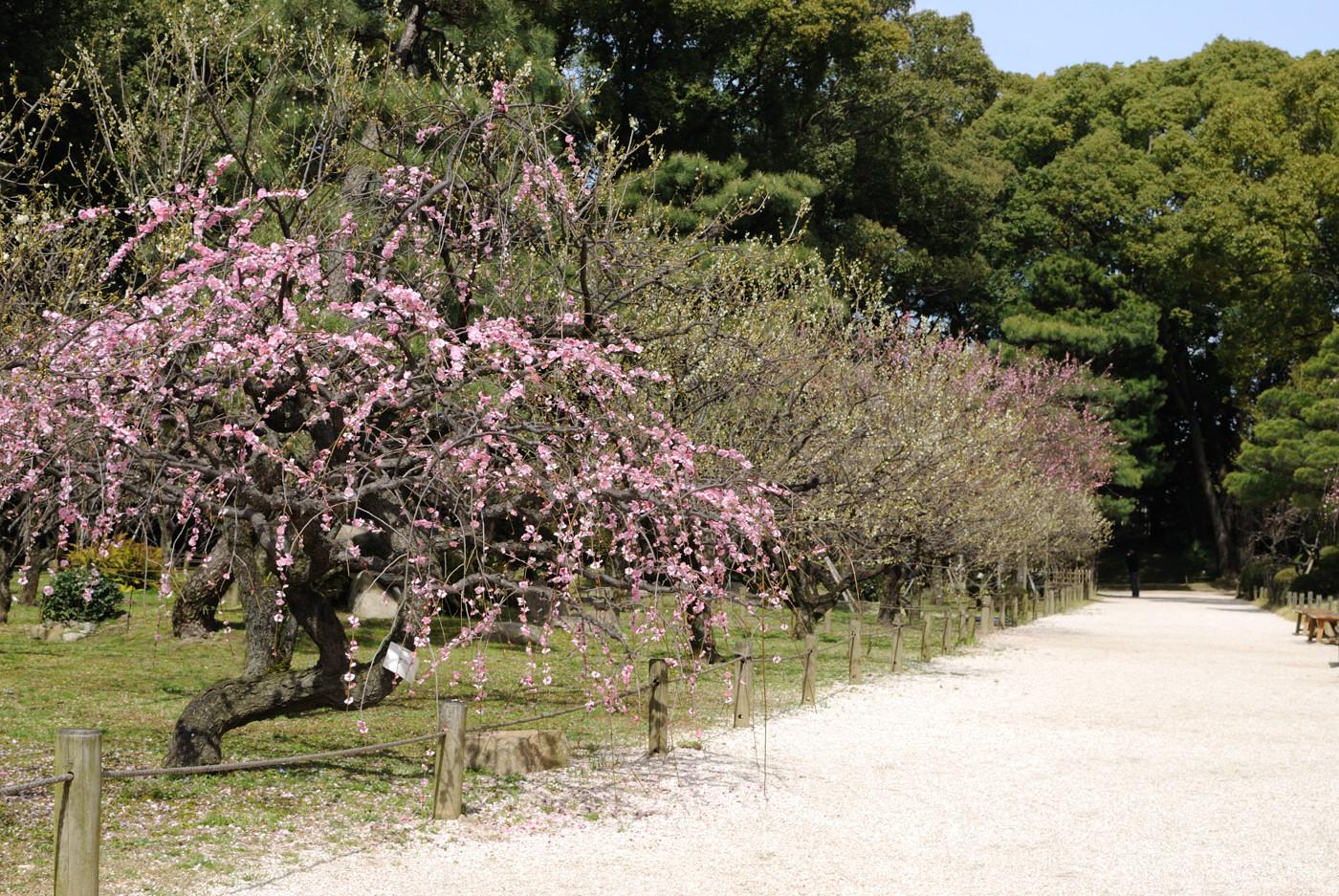 縮景園の梅の花その4