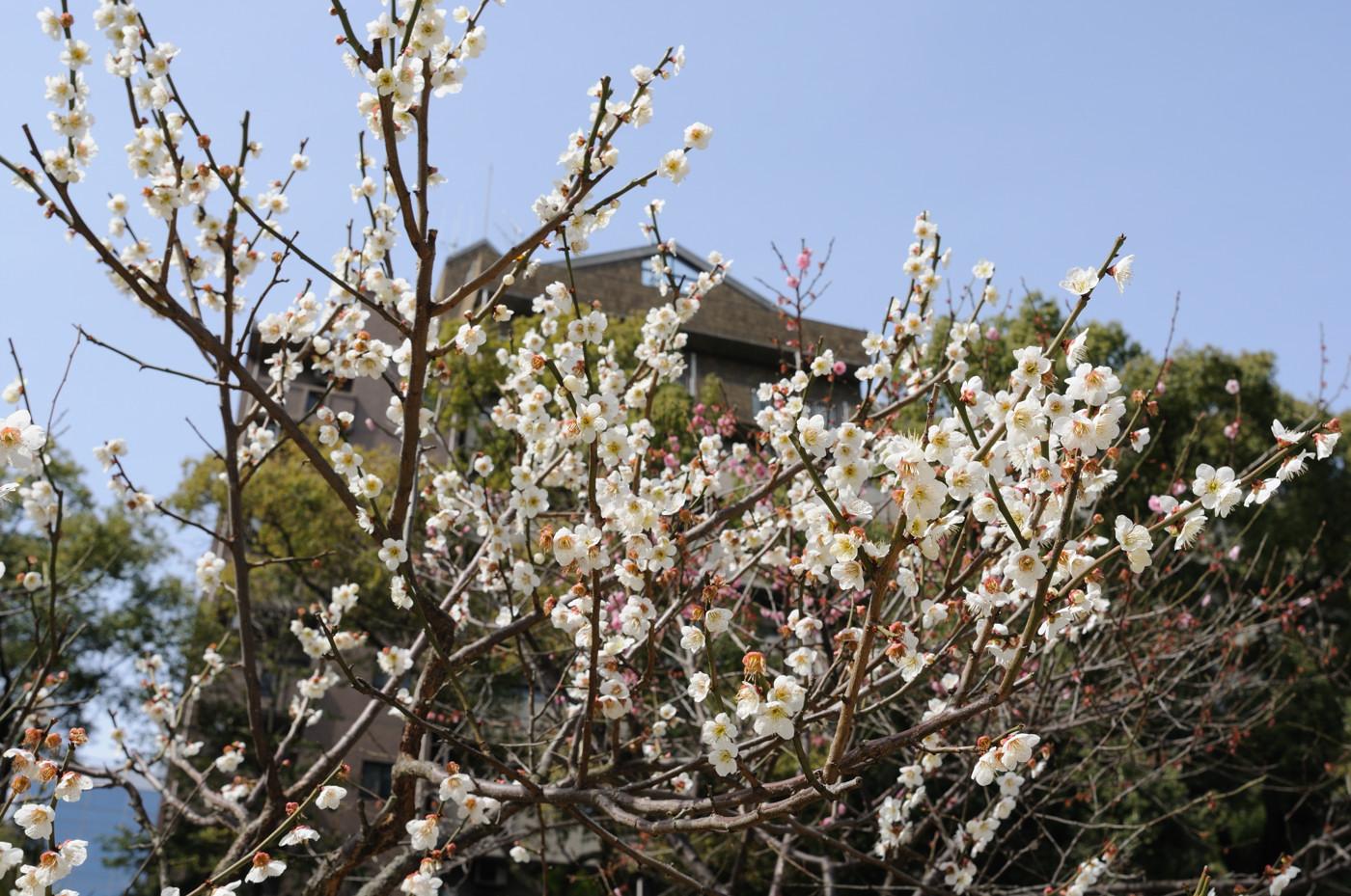 縮景園の梅の花を下から~
