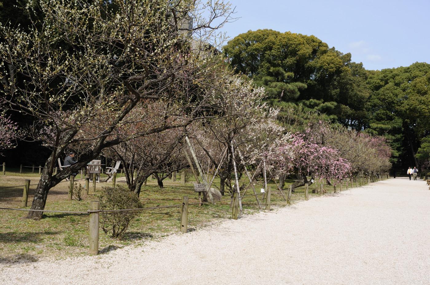 縮景園の梅の花を全体的に