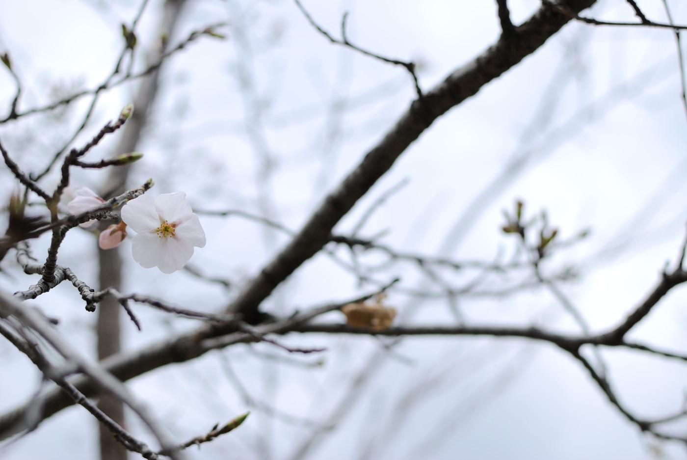 桜の花とセミの抜け殻その1