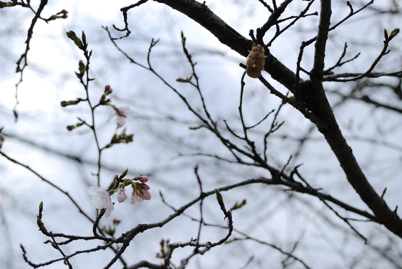 桜の花とセミの抜け殻その2