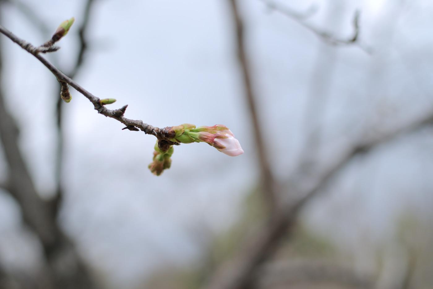 桜のつぼみ~