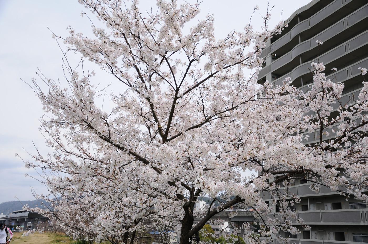 満開の桜の木でした