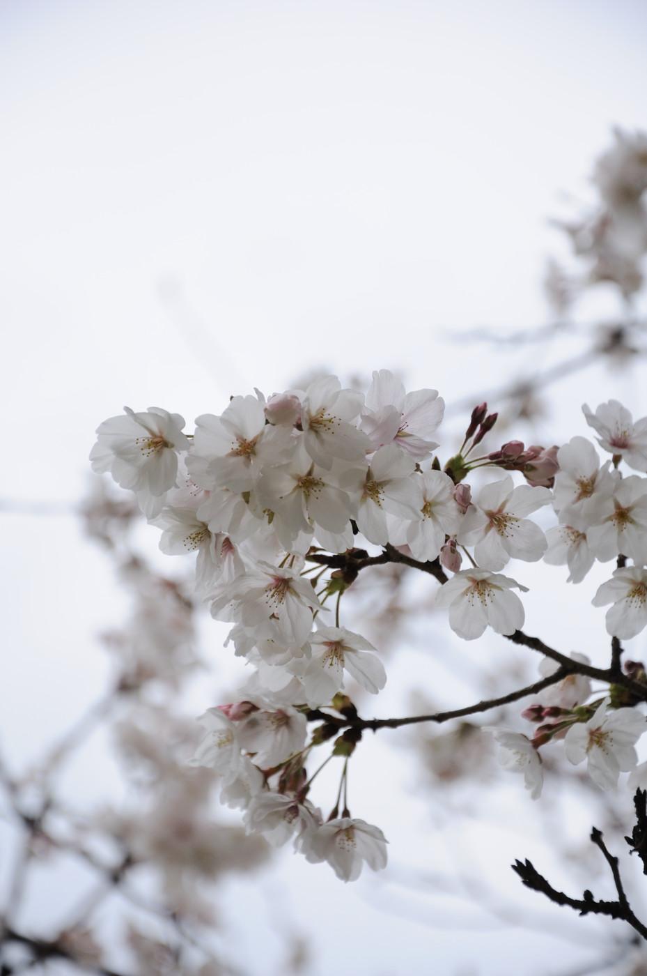 桜の花を大きく~