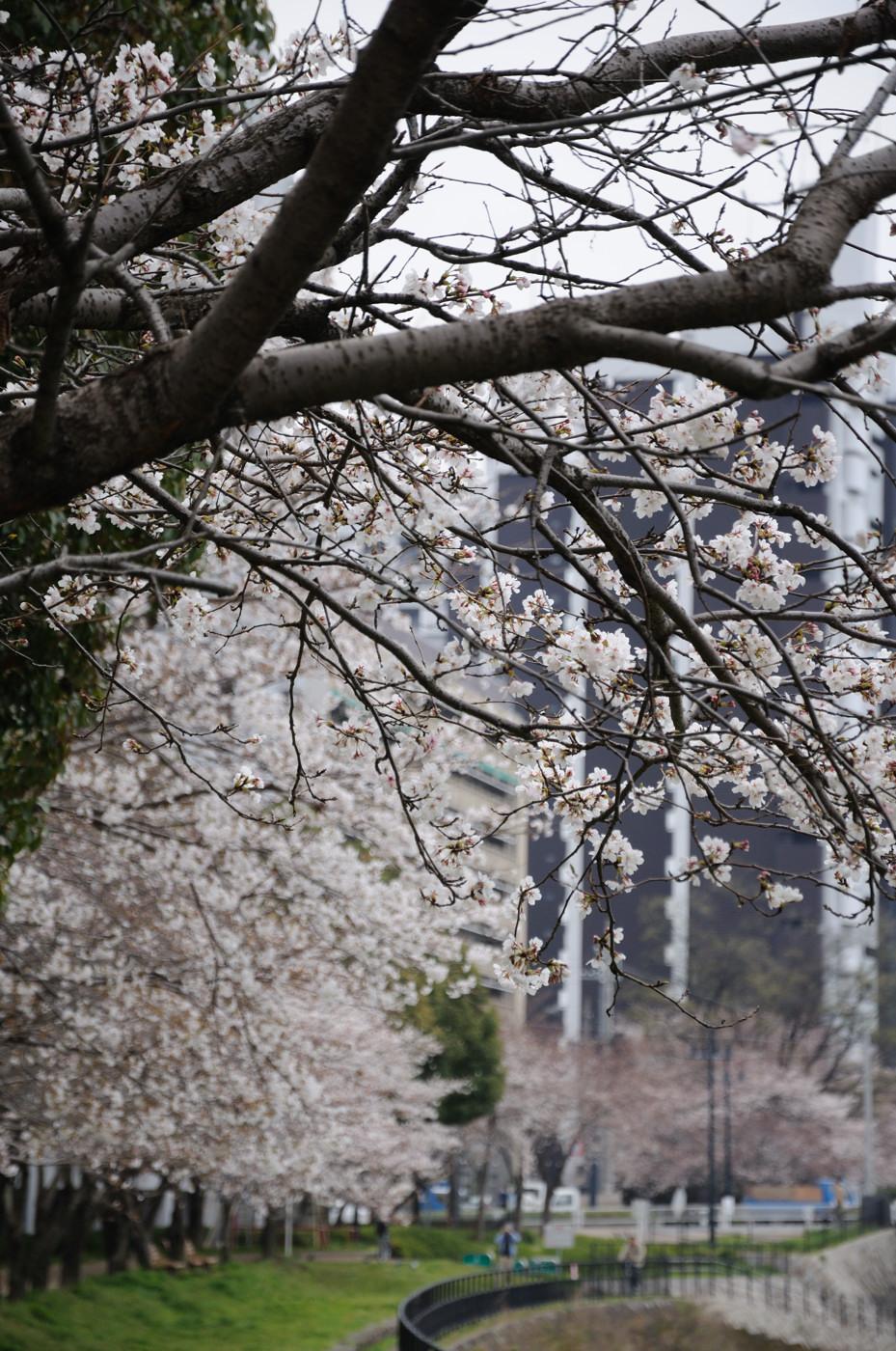 プチどばぁ~と桜並木