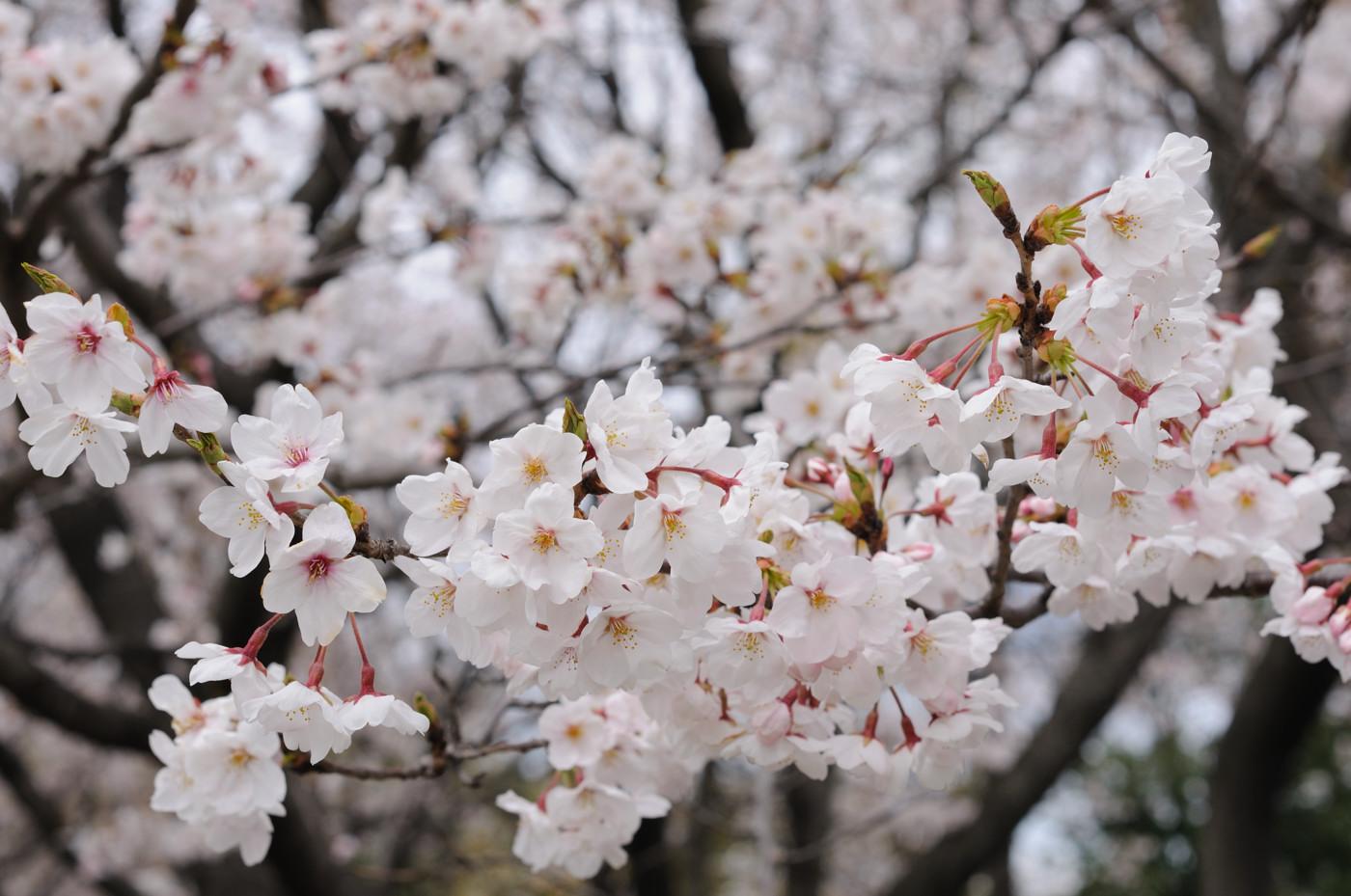 桜の花を大きく