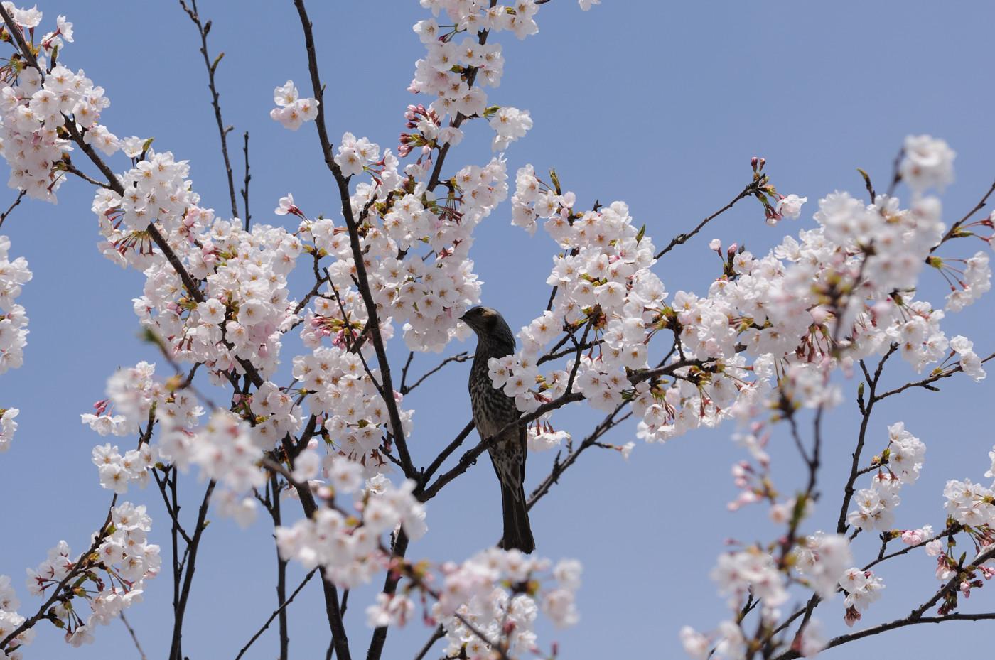 桜の蜜を吸う鳥さんで~す