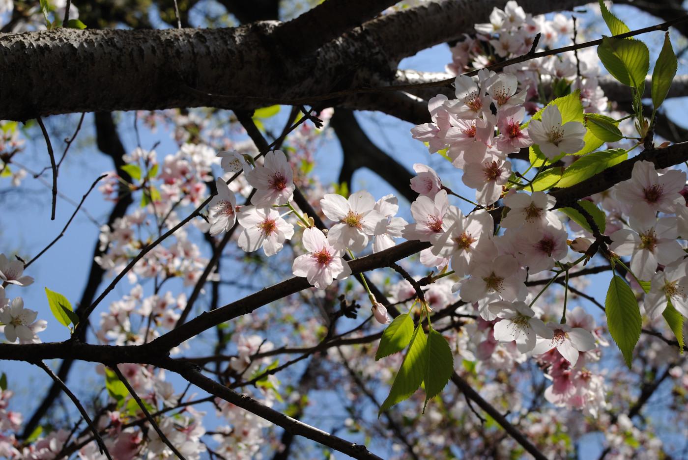 逆光で透けている桜~