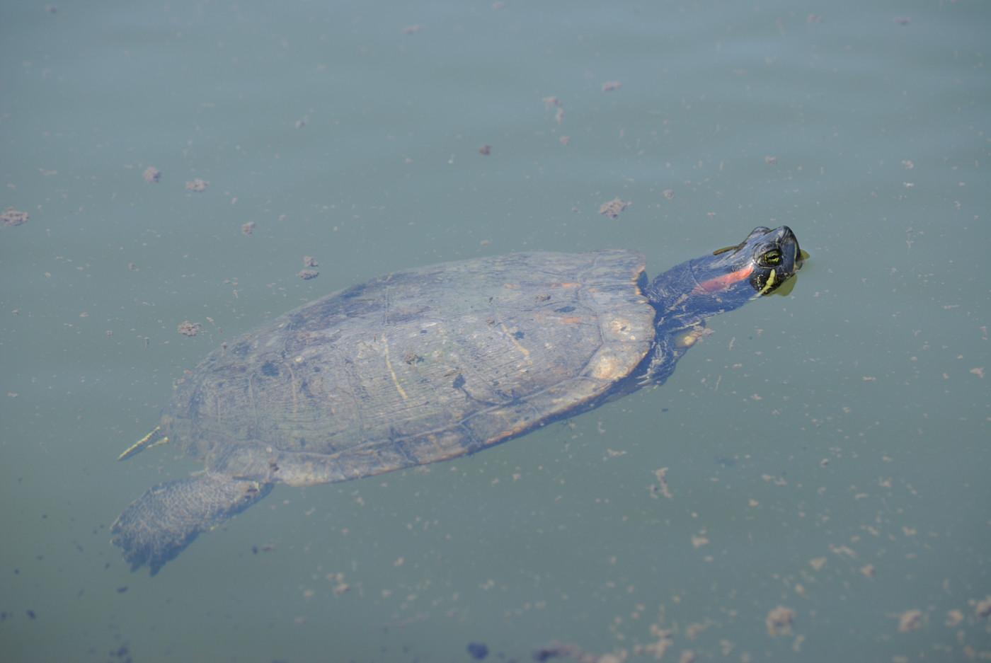 泳いでいる亀さん