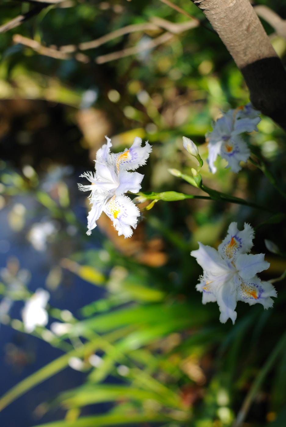 シャガの花です