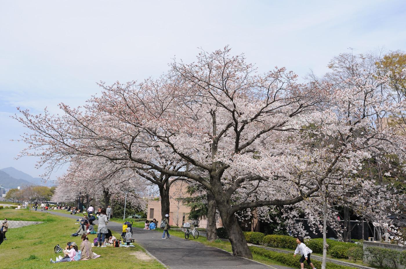 大きな桜の木です