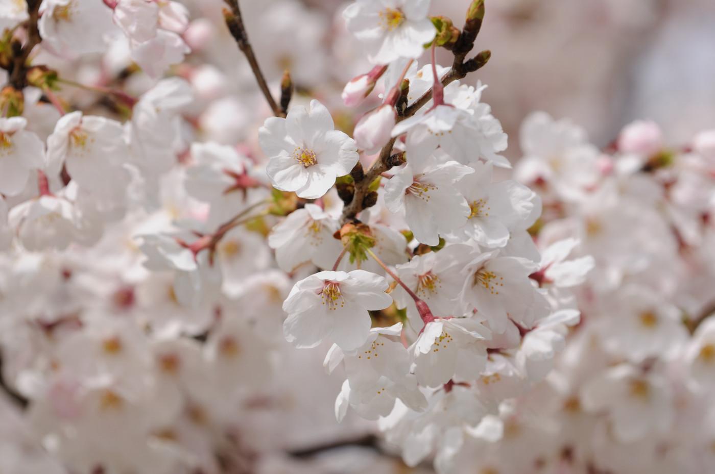 大口径望遠ズームで大きく桜の花