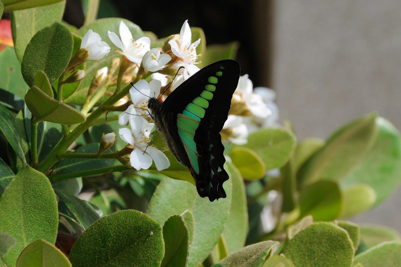 羽をぷるぷるさせながら蜜にありつく蝶