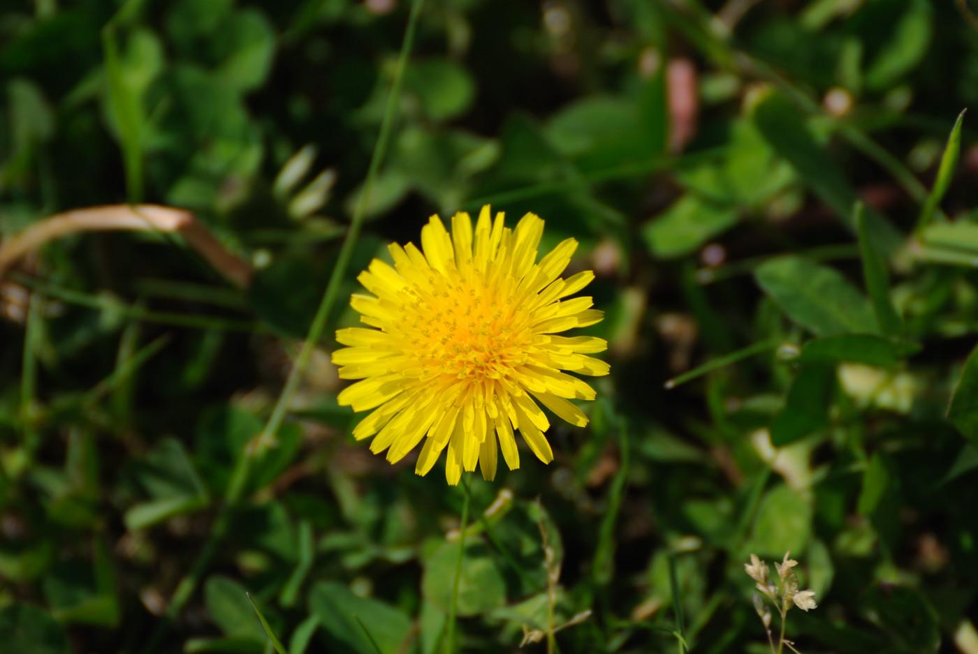 タンポポの花を大きく~
