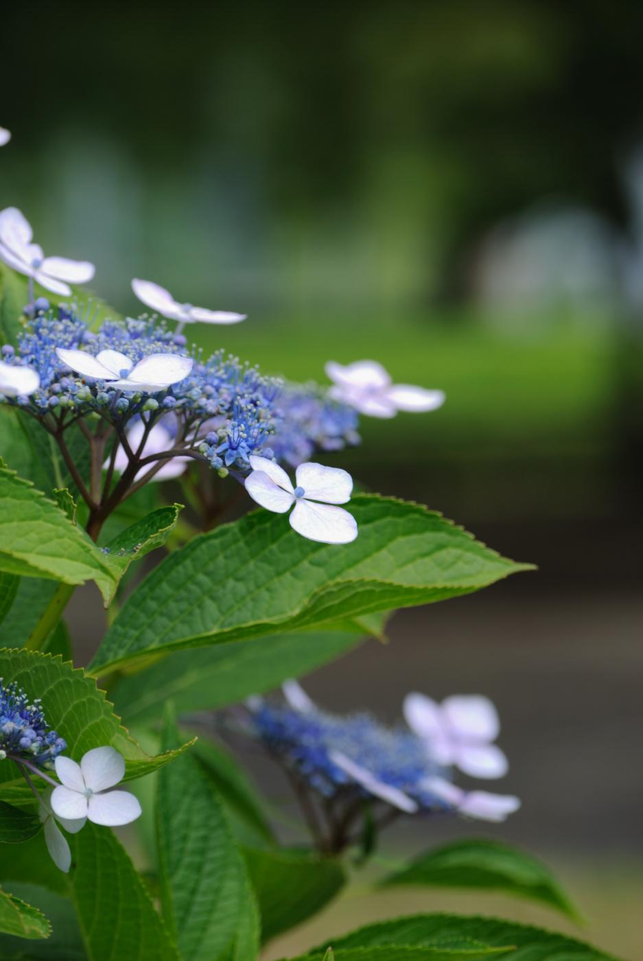 青っぽいお花さんです