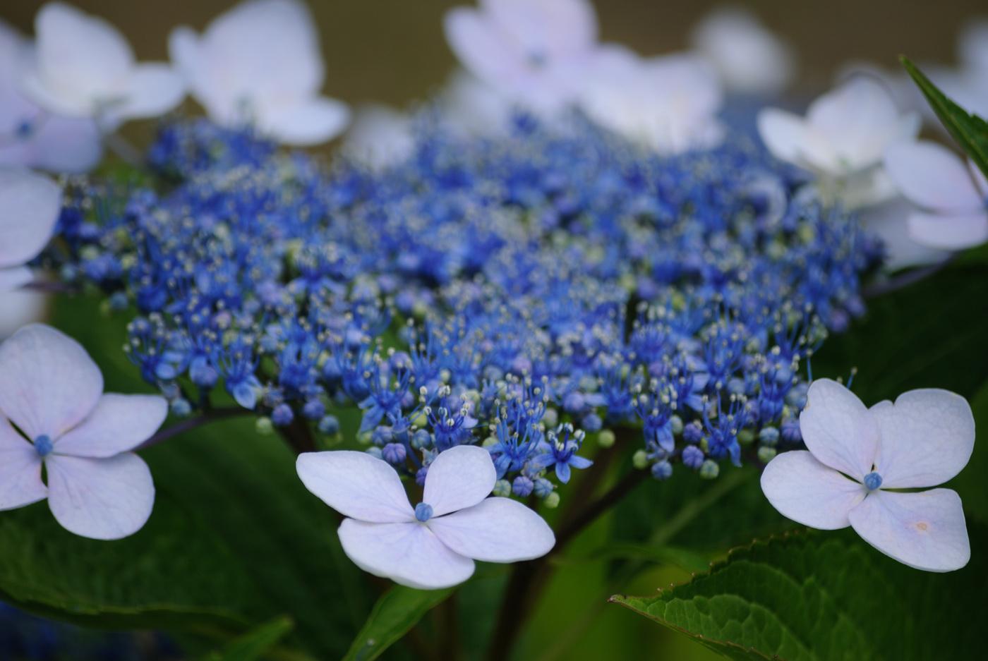 これも青っぽいお花さんです