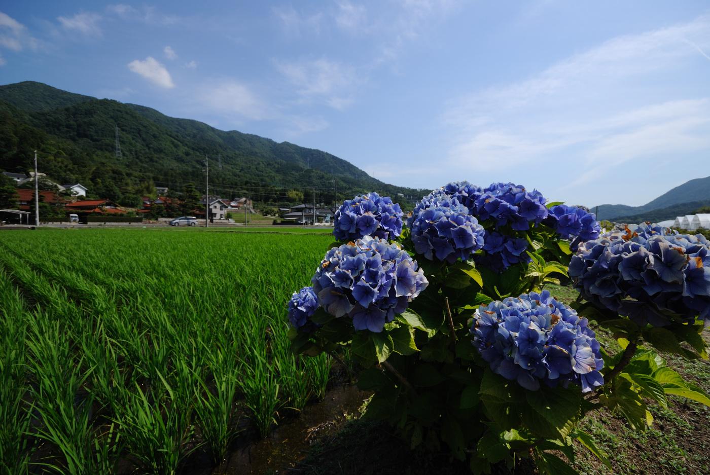 田んぼの脇には紫陽花が咲いていました