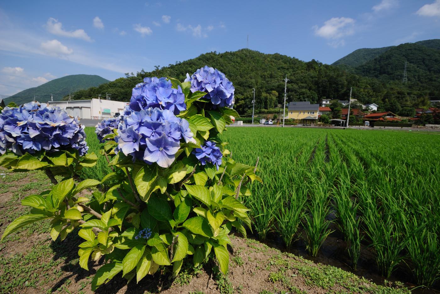 紫陽花と田んぼの写真だじぇ