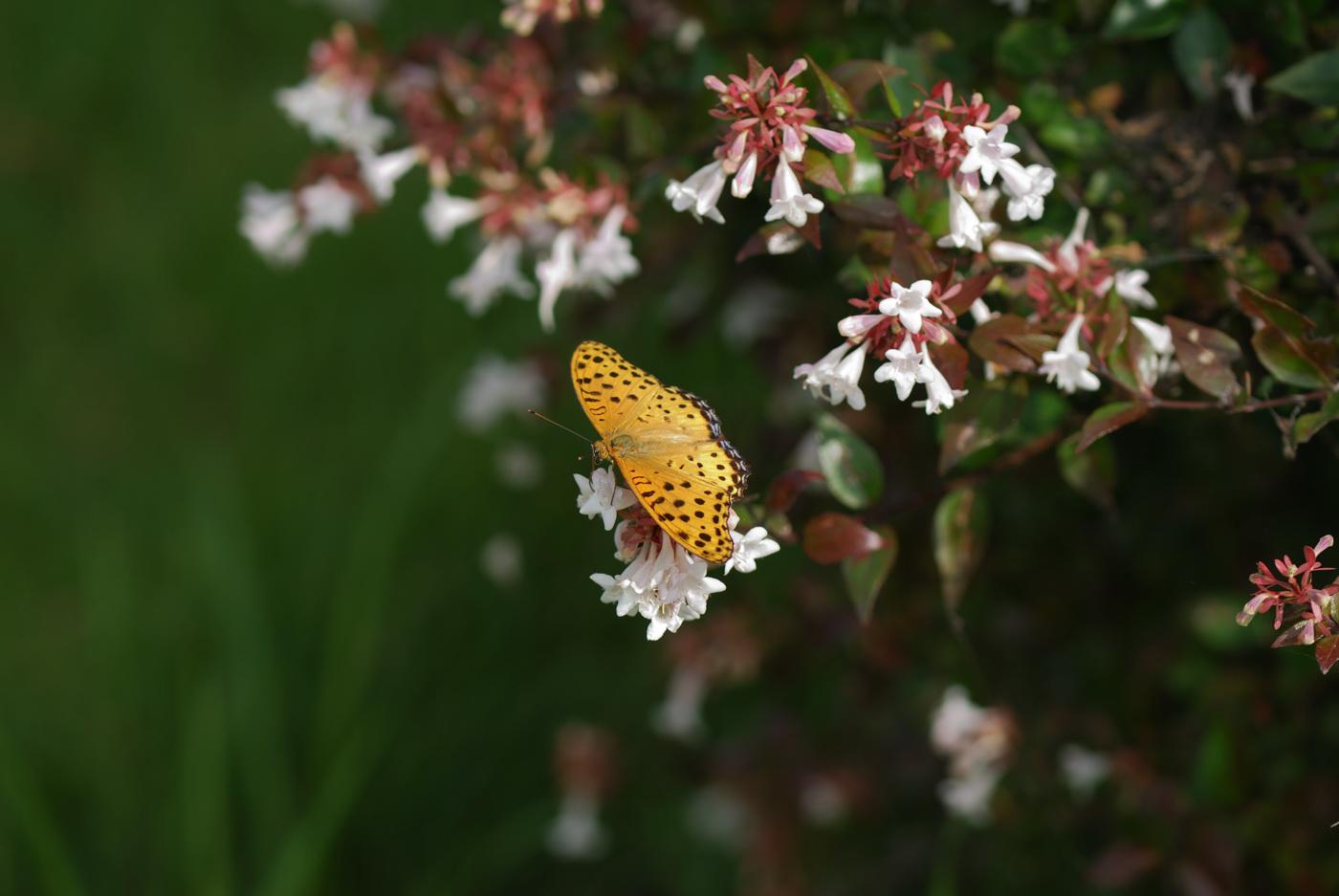 前にも写真に収めたことのある種類の蝶ですね